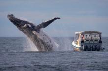 ช็อตเด็ด!! วาฬหลังค่อมพุ่งขึ้นเหนือน้ำ เฉียดเรือนักท่องเที่ยว