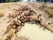ที่นี่เมืองไทย!!ฝูงวัว 200 ตัว วิ่งลืมตายเข้าหาแหล่งน้ำ