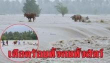 พิษน้ำท่วม!! เดือดร้อนทั้งคนทั้งสัตว์ วัว 4 ชีวิต โดนผูกทิ้งติดกลางกระแสน้ำเชี่ยวกราก ช่วยเหลือทุลักทุเล