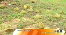 ชาวสวนช้ำ พายุฤดูร้อนถล่มจันทบุรี สวนทุเรียนเสียหายยับ
