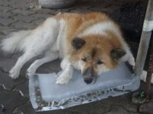 พบสุนัขขี้ร้อนชอบนอนบนก้อนน้ำแข็ง เรียกรอยยิ้มจากนักท่องเที่ยว