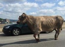สุดสลด! วัวหนีโรงฆ่าสำเร็จ แต่สุดท้ายไม่พ้นเคราะห์ ถูกยิงตาย
