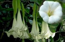 อันตรายเกือบตาย!! 2พี่น้อง ช็อกน้ำลายฟูมปาก หลังพากันกินดอกไม้นี้!!