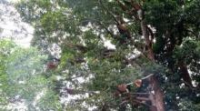 ชาวบ้านผวา !!!ฝูงผึ้งนับหมื่น แห่ทำรังบนต้นยางนา หน้าวัดดังเชียงใหม่