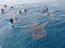 นักท่องเที่ยวเป็นปลื้ม ฉลามวาฬว่ายน้ำเข้ามาเล่นด้วยอย่างเป็นมิตร