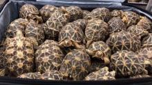 มาได้ไง! พบเต่าดาวอินเดียกว่า 300 ตัว ซุกซ่อนใส่กระเป๋าเข้าประเทศ