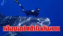 เตือนนักท่องเที่ยวอย่าเข้าใกล้ฉลามวาฬ ห่วงอันตรายชี้ไม่มีฉลามใจดีอย่าคิดไปเอง