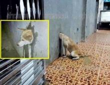 น่าสงสาร!!! เจ้าไข่ดาว น้องหมาซนจัด หัวมุดท่อกำแพงบ้านจนติดแหง็ก