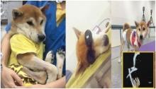 ชมคลิปสัตวแพทย์ แถลงชัด ลอยด์ สุนัขชิบะ ถูกทุบตีและฟันขาจนขาด !!