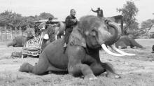 วังช้าง อยุธยา เตรียมนำช้าง 10 เชือก เข้าแสดงความอาลัยพระบรมศพ