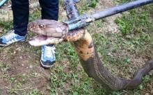 แตกตื่น!! งูจงอางยักษ์ 4 เมตร ขดตัวข้างบ้าน