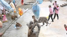 สื่อนอกสงสัย!!อนาคตเสือวัดป่าหลวงตาบัวอยู่ที่ไหน?