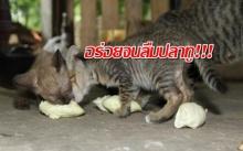 อร่อยจนลืมปลาทู!!! แม่ค้างง? ลูกแมวคลั่งไคล้ทุเรียนเมืองลับแล รุมกินไม่แคร์กลิ่น!