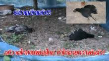 ระบาดอีกแล้ว!! อหิวาต์ไก่สายพันธุ์ใหม่ ทำไก่ตายกว่าพันตัว