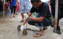 กู้ภัยฯ รุดช่วยงูเหลือมติดคาฝาท่อ หลังกินหนูจนอิ่มแล้วเลื้อยกลับไม่ได้