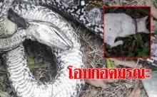 เหลือมยักษ์สุดโหด!! บุกขย้ำรัดแมวน้อยขาดอากาศ เจ้าของช่วยไม่ทัน เหลือแต่ซากอนาถ!!