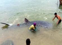 ฉลามวาฬลอยติดโป๊ะชาวประมงช่วยกลับลงทะเล