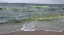 น้ำทะเลเปลี่ยนสี ทำปลาตายเกลื่อนบางแสน