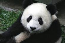 เศร้าเลย!! สวนสัตว์บอก หลินฮุ่ย ที่กำลังท้องว่าตอนนี้เป็นแบบนี้ไปแล้ว!!