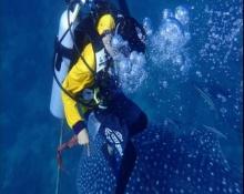 ฮือฮา! ฉลามวาฬตัวเขื่องโผล่ทะเลพังงาสุดประทับใจ