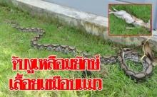 ผงะ!! พบงูเหลือมยักษ์ยาว 5 เมตร เลื้อยเขมือบแมว!!