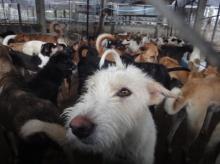 พิษสุนัขบ้าระบาด จนท. หวั่นดราม่าไม่กล้าวางยา 600 ตัว วอนช่วยค่าอาหาร!
