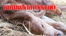 ชาวบ้านฮือฮาแม่วัวบราห์มัน คลอดลูกลักษณะผิดปกติ วัวสองหัว สองหาง