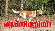 ตรวจพบโรคพิษสุนัขบ้าระบาดในหมูที่โคราช เตือนถูกสัตว์เลี้ยง กัด-ข่วนรีบพบแพทย์