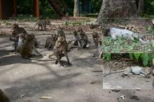 แล้งพ่นพิษหนัก!! ฝูงลิงอุทยานดงลิงดอนเจ้าปู่ ขาดน้ำ-อาหาร ทยอยตายเกลื่อน