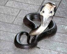 นักปั่นระวังให้ดี!! งูเห่ากระโดดฉกหลังปั่นจักรยานสำรวจเส้นทาง(คลิป)