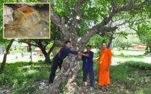 เจ้าอาวาสพาชมลีลาวดี 100ปี 100ต้น โขดหินน้ำผุดไม่แห้งในวัดพระบาทแม่ไทย