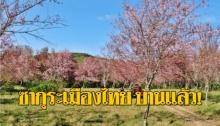 """ต้องไป! """"ซากุระเมืองไทย"""" บานสะพรั่ง """"ภูลมโล"""" กลายเป็น """"ภูเขาสีชมพู"""