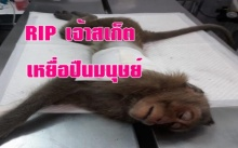 เจ้าลิงน้อยสเก็ต เหยื่อปืนมนุษย์ สิ้นแล้ว