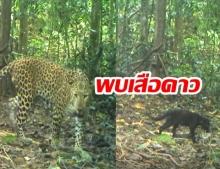 ชมความน่ารัก พบครอบครัวเสือดาวในป่าแก่งกระจาน