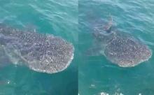 ฮือฮา!! ฉลามวาฬตัวใหญ่ โผล่ในทะเลเกาะล้าน