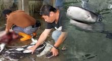 """ชาวประมงไต้หวัน!!! """"ทำการผ่าท้องเเม่ฉลามเสือที่ติดอวนเสียชีวิต"""" เพื่อช่วยฉลามตัวน้อยๆในท้อง!!!"""