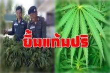 อารมณ์ดีทั้งโรงพัก! ตำรวจบุกไปถอนต้นกัญชา แต่ตอนแถลงข่าวตาแดงเป็นแถวเพราะแบบนี้!!
