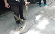แทบช็อก!! งูจงอางขนาดใหญ่ตกจากหลังคาห้องครัว ขณะกำลังทำกับข้าว