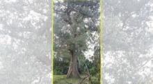 ตะลึง! ทุเรียนยักษ์ 200ปี ต้นเดียวทำเงินเท่ากับทั้งสวน ถือว่าเป็นพันธุ์ที่หายาก!!