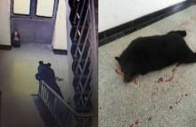 วิจารณ์สนั่น!!! ตร.ใช้กระสุนจริงยิงหมีดำ เดินหลงเข้ามาในโรงเรีย!!