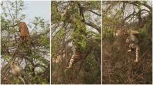 สุดฮา! เมื่อเสือปีนต้นไม้ไล่ล่าลิงน้อย แต่สุดท้ายเป็นแบบนี้ ....