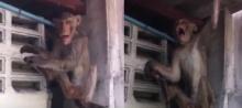 หมดสภาพ!!ลิงแสม เมาเหล้าขาว ชาวบ้าน เรียกกู้ภัยช่วยกันจับ(มีคลิป)