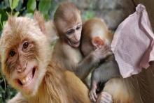 สพ.ชี้ ลิงฉีกรายชื่อลงประชามติ แค่ซน-อยากรู้อยากเห็น