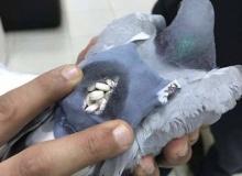 จนท.จับกุม นกพิราบขนยาเสพติดข้ามพรมแดน