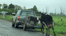 สะเทือนใจ แม่วัววิ่งตามรถที่พรากลูกมันไป กลุ่มคุ้มครองสัตว์ให้นึกเทียบหัวอกแม่(คลิป)