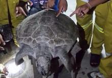 ฮือฮาทั้งเมืองชล!! พบซากเต่าทะเลยักษ์อายุนับ 100 ปี ชาวบ้านแห่ขูดหาเลขตามระเบียบ