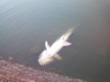 ล่าโจรใจบาป ใช้ลูกดอกยิงปลาบึกอายุกว่า 20 ปีในเขตอภัยทาน