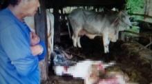โจรสุดชั่ว!! ตัดขาวัว ควักเครื่องใน ทิ้งซากให้เจ้าของดู!!
