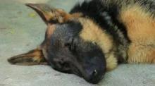 อาลัยเจ้าเรดาร์ สุนัขทหาร 3 จังหวัดชายแดนใต้ ตกเหวตายในหน้าที่