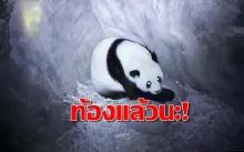 ท้องแน่!! ฟันธง ข่าวดีแพนด้า หลินฮุ่ย ท้องแล้ว 100%